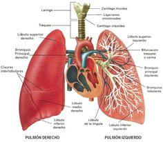 bronquios ubicacion anatomica - Buscar con Google