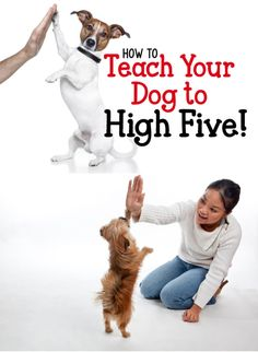 One of our favorite tricks, that's incredibly easy to teach, is the 'high five.' You'll be surprised... teaching your dog to give a high five is a lot simpler than you might think!