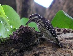 Philippine Pygmy Woodpecker (Yungipicus  maculatus validirostris) female
