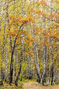 #Birchwood. The scenic view of #birch and #oak #trees and a #leaves covered footpath. All #pastel #colors of #autumn. #Vertical format. The #photo can be used as an #iphone #case as well as a #greeting #card, or a #poster, or a #canvas to #decorate a #home or an #office. - Delicious autumn! My very soul is wedded to it, and if I were a bird I would fly about the earth seeking the successive autumns. (George Eliot)