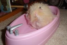 Hamster Grooming and Cleaning Your Pet, Cleaning, Pets, Animals And Pets