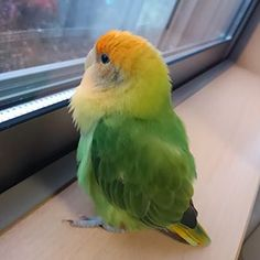 Cute little parakeet looking out of the window. Birds can make great pets. Funny Birds, Cute Birds, Pretty Birds, Beautiful Birds, Animals Beautiful, Budgie Parakeet, Budgies, Parrots, Cockatiel