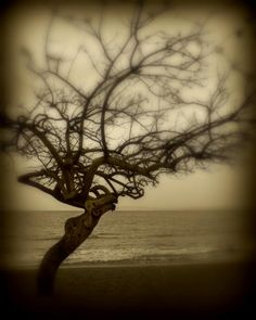 Perry Webster, beach tree