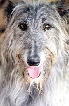 sottish deerhound phot | Scottish Deerhound Profile Photo