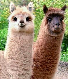 Cute alpacas  Like at the eyes on the fawn alpaca. How cute can you get.