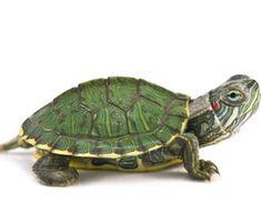 42 Best WATER - TURTLES images in 2018 | Turtle, Tortoises