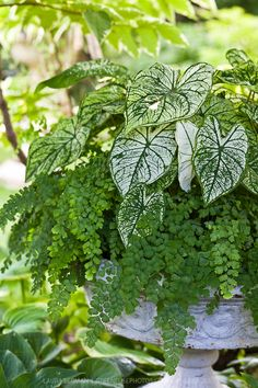 Shade tolerant caladium and maidenhair fern planted in a white cast-iron urn. Container garden. Container planting.