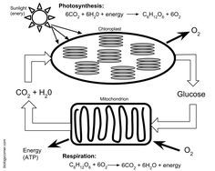 65 Best Photosynthesis and Cellular Respiration images in