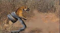 야생 동물 싸움 - 거대한 아나콘다는 공격 암소를 HD
