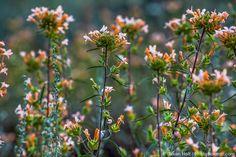 Collomia grandiflora - Large-Flowered Collomia, flowering annual wildflower.  Prefers part shade, dry soils.