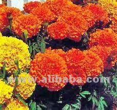 Fresh Marigold Flowers , Find Complete Details about Fresh Marigold Flowers,Fresh Cut Marigold Flowers from Fresh Cut Flowers Supplier or Manufacturer-ARUNS INTERNATIONAL