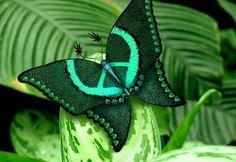 ...farfalla della pace
