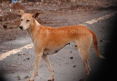 A village dog probably related to my INDog Kiba, as she and a pack of similar looking dogs live near his birthplace (near Kurul, Raigad district, Konkan Coast). The dogs of this area are rather deep-chested.