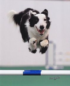 One of the best. Rough Collie, Dog Agility, Mammals, Best Dogs, Border Collies, Horns, Animal, Friends, Antlers