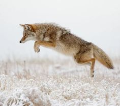 Airborne! by Greg Ness Coyote pouncing on voles under the snow...