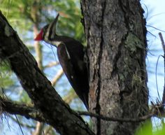 Bird Photos, Birding Sites, Bird Information: FEMALE PILEATED WOODPECKER, PEPPER RANCH PRESERVE,...