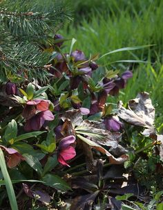 Clean up old foliage before hellebores begin to bloom.