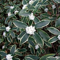 A variegated Daphne with unsurpassed fragrance, gold-edged leaves, and pinkish-white blooms on an evergreen habit.