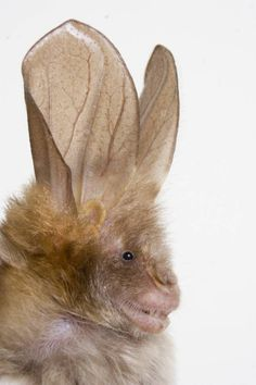 Split-nosed bat: Also called Horseshoe bats because of the shape of the skin around their noses, these bats use their huge ears for echolocation and their broad wings for particularly agile flight in chasing down their prey.