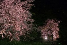 #cherry blossoms, #pond, #garden, #Illuminated, #night,