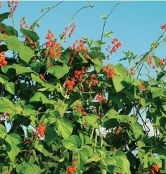 Seeds and Things Scarlet Runner Bean 25 Heirloom Seeds Brilliant red flowers and tasty bean pods ** Find out more about the great product at the image link.