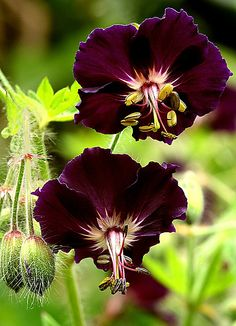 geranium | Photo by Vernon Hyde  on Flickr | Permission: CC BY-NC-ND 2.0 http://creativecommons.org/licenses/by-nc-nd/2.0/deed.de