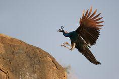 peacock flying - Поиск в Google