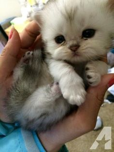 white persian kittens - Google Search