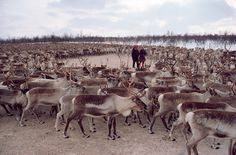 Sami herders stand amongst their reindeer herd in a corral. Kautokeino. Sapmi. North Norway.