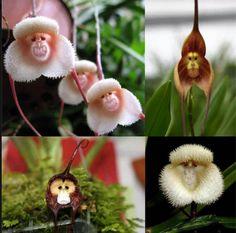 Masdevallia Orchids aka Monkey Orchids