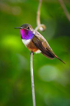 A Bahama woodstar hummingbird  New Providence, The Bahamas,  Flickr