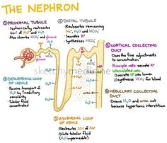 Anatomy of a nephron