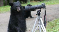 Bear with us Big Bear Hotels, Bear Men, New Brunswick, Black Bear, Safari, Animals, Image, Animales, American Black Bear