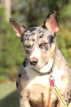 Mae Mae is an adoptable Catahoula Leopard Dog searching for a forever family near West Monroe, LA. Use Petfinder to find adoptable pets in your area.