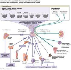 hormones endocrine system   Adrenal Gland (Suprarenal) Diagram