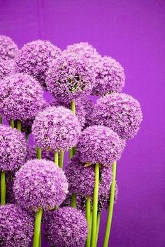 Purple drumstick allium~tall (20-36 inches), sturdy, good cut flowers, great background structure for early spring beds.