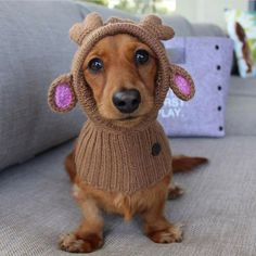 """Learn even more info on """"Dachshund dogs"""". Have a look at our site. Cute Funny Animals, Funny Animal Pictures, Cute Baby Animals, Mini Dachshund, Dachshund Puppies, Daschund, Funny Dachshund, Lab Puppies, I Love Dogs"""