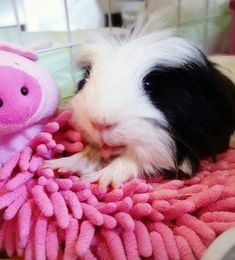 Omg, look at that little tongue.Happy guinea pig