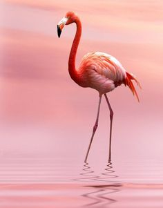 Flamingos usually stand on one leg while the other is tucked beneath their bodies. The reason for this behaviour is not fully understood. Flamingo Painting, Flamingo Art, Pink Flamingos, Pretty Birds, Beautiful Birds, Animals Beautiful, Animals And Pets, Cute Animals, Funny Animals