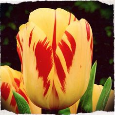 If you want a tall and striking hybrid tulips, the Olympic Flame (T1560) is the tulip for you. Sold in quantities of 10 for £5.50 and 30 for £15.65 #dejager #flowers #tulip #yellow #red #bulbs #dejagerbulbs