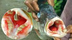 Τρόμος! Έπιασαν ψάρι με... ανθρώπινα δόντια (βίντεο) - Pentapostagma.gr : Pentapostagma.gr Fresh Rolls, Fish, Ethnic Recipes, Teeth, Remote, Mystery, Pisces, Tooth, Pilot