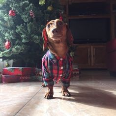 A weenie that knows how to dress. 19 Wiener Pics You'd Actually Like To Receive Dachshund Clothes, Dachshund Shirt, Puppy Clothes, Dachshund Love, Dachshund Breed, Dachshund Gifts, Dachshund Puppies For Sale, Dogs And Puppies, I Love Dogs