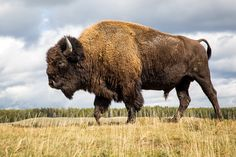 Wildlife Photo of the Day - June 5, 2015: This was the last bison we came across leaving the park. He was walking on a small hill so I thought that would offer a different perspective. I got very low behind the rear bumper of our van so I could get this shot as he walked right passed me.  I took this photo on a trip to Yellowstone with Nat Hab.