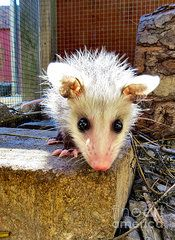 A young opossum looking out on the big world awaiting him. Small Animals, Baby Animals, Funny Animals, Cute Animals, Baby Opossum, Mickey Mouse Ears, Animal Memes, Identity, Creatures