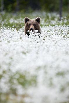 Bear lurking in a #cotton field