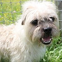 Quakertown, Pennsylvania - Poodle (Miniature). Meet Torrence, a for adoption. https://www.adoptapet.com/pet/20594412-quakertown-pennsylvania-poodle-miniature-mix