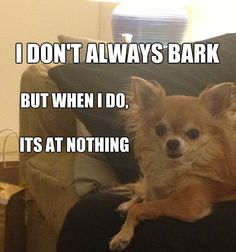 Interwebs, please welcome Bella the Chihuahua - Meme #DosEquis #Dog #Animals