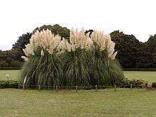 """I like Pampas Grass as an ornamental - it has a nice, cultured """"look of the Americas"""" to it when it is placed next to a well-manicured lawn. To me, it almost speaks of Caribbean gentry."""