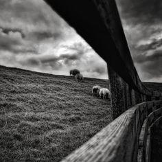 B&W Sheep