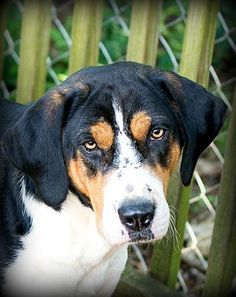 Meet Boone, an adoptable Treeing Walker Coonhound looking for a forever home. If you're looking for a new pet to adopt or want information on how to get involved with adoptable pets, Petfinder.com is a great resource.